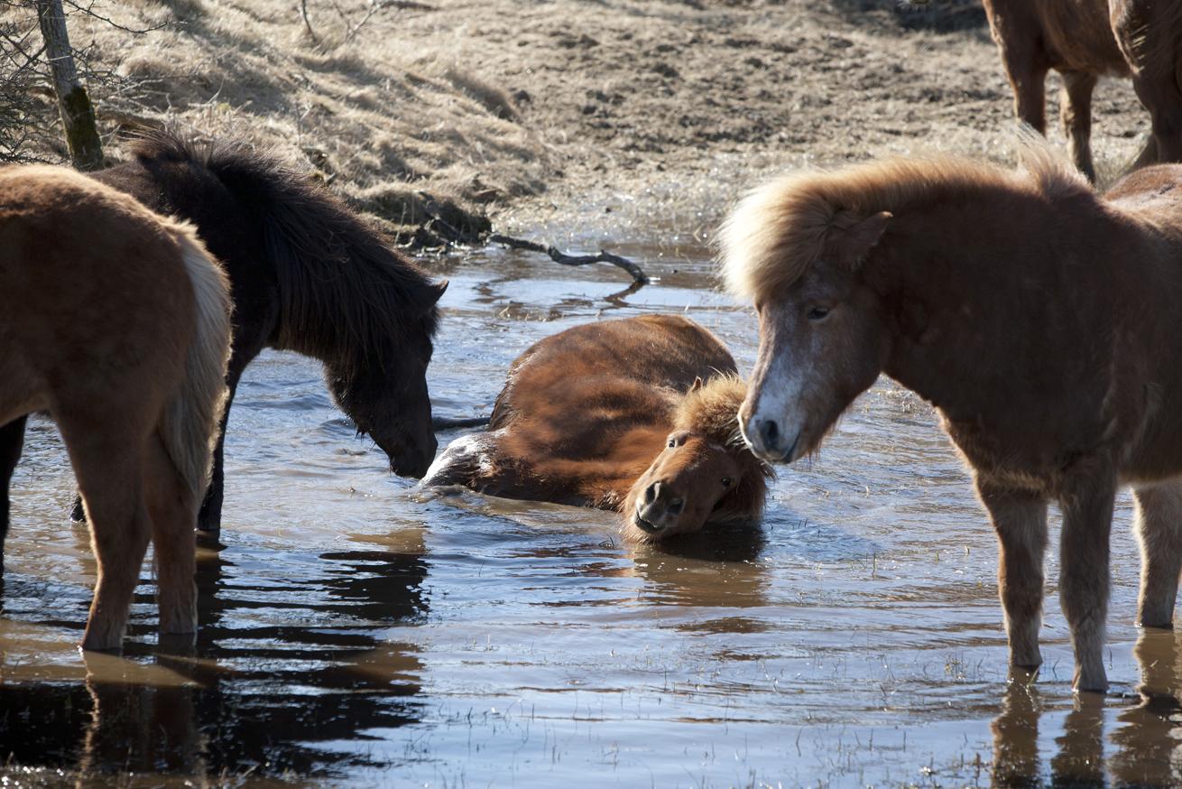 Hest_vand_1