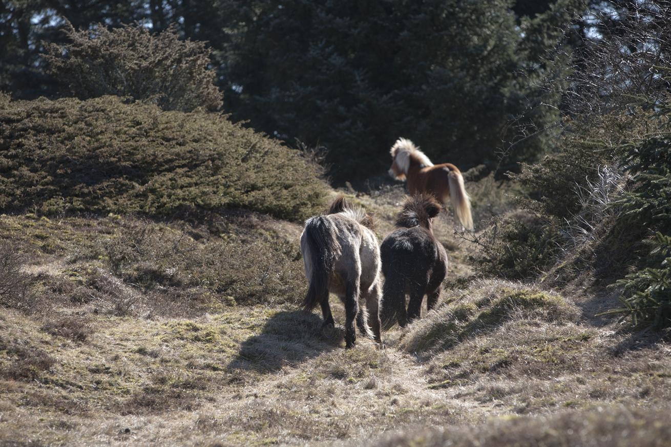 Heste_lob