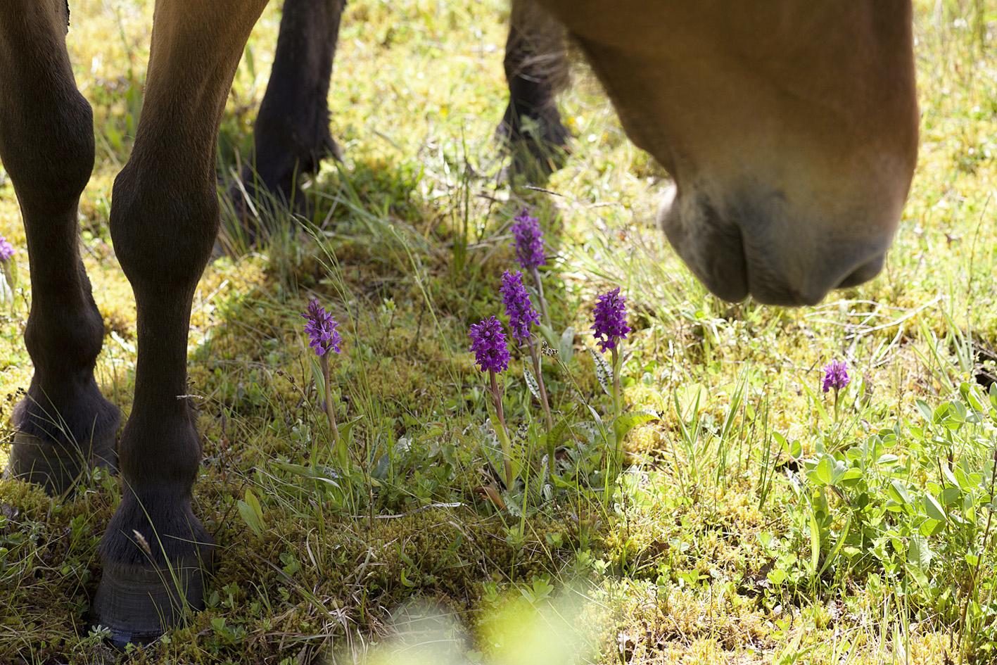 Orkideer_heste