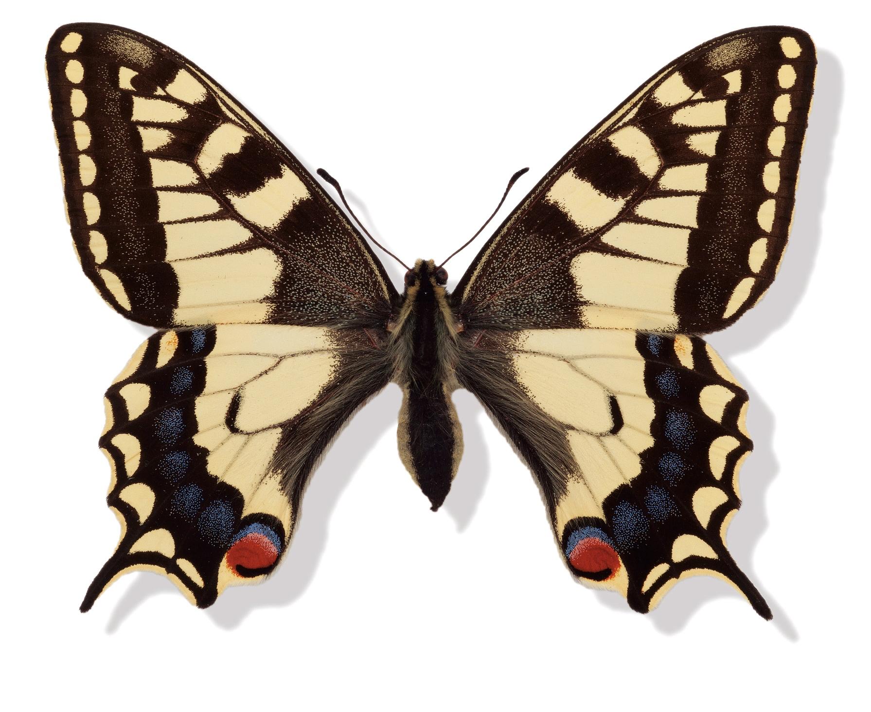 Svalehale Papilio machaon