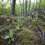 Stor gøgeurt (Orchis purpurea) vokser kun tre steder i Danmark.