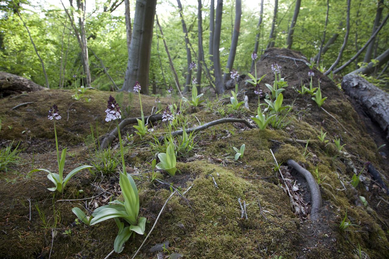 Stor gøgeurt (Orchis purpurea) vokser kun tre steder i Danmark. Den er vores største orkidé og kan bliver op til 60 cm høj og kan have over 100 små blomster, der er blegrøde med prikker. Den blomstrer i maj og begyndelsen af juni. Danmark har verdens nordligste forekomster af stor gøgeurt. Stor gøgeurt er fredet og må ikke plukkes, graves op, samles ind eller ødelægges. Arten er desuden omfattet af CITES/Washington-konventionens liste II /bilag B.