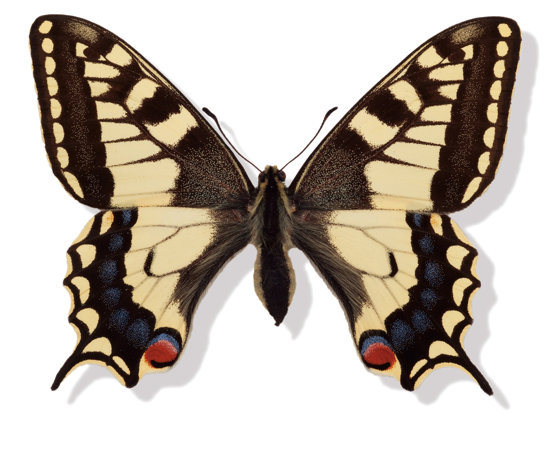 Svalehale Papilio machaon